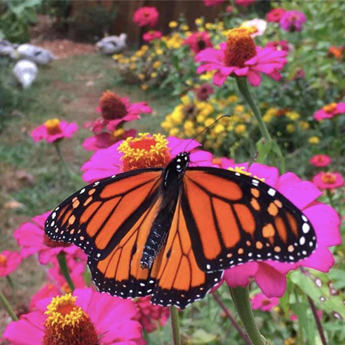 A Monarch butterfly getting nectar from a Zinnia (foreground) as our Welsh Harlequin ducks forage in the background. Countless species visit and live in our garden system, and we're the clumsy conductors of that orchestra.