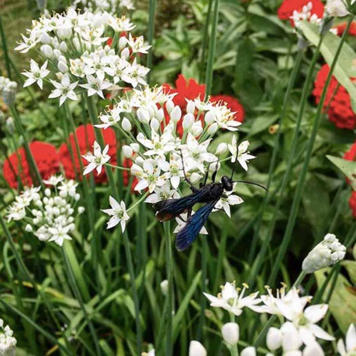 葱属植物(比如这些蒜香葱花)既有华丽的叶子,也有华丽的花朵。它们还吸引了大量有益的昆虫捕食者和传粉者,比如这只蓝色黄蜂。暴君农场的可食用景观。