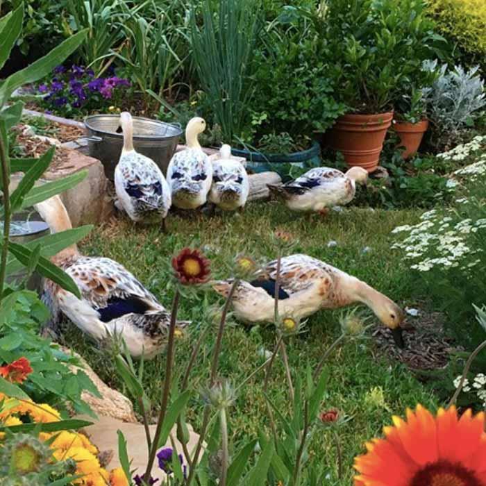 可食用的景观形象。前院有威尔士丑角鸭的可食用景观。
