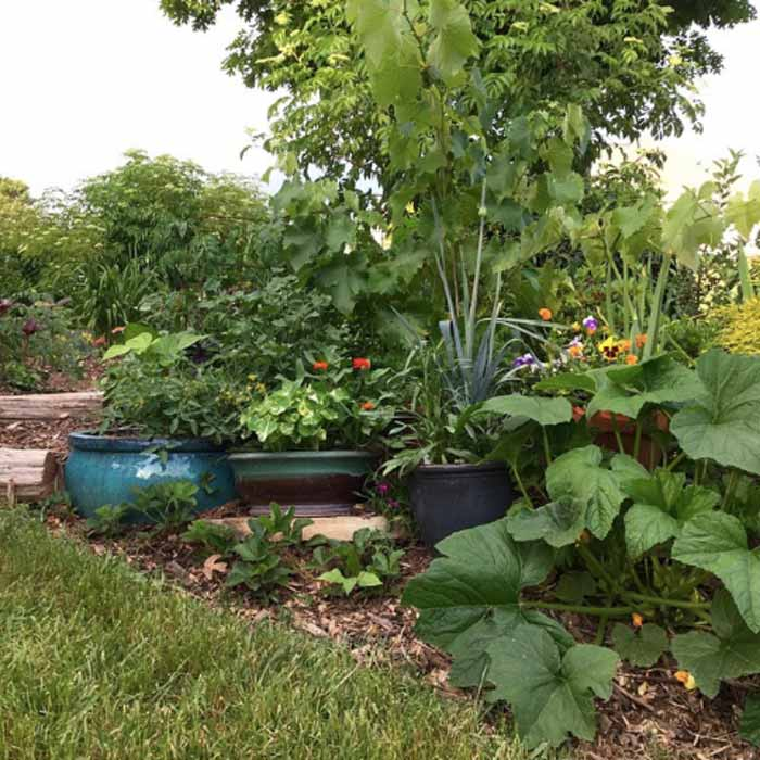 Can an edible, organic no-till landscape also be beautiful? We think so. This is a photo of one of the front yard garden beds of GrowJourney's cofounders. Squash, strawberries, nasturtiums, alliums, Camellia sinensis, grapes, elderberries, tomatoes, and other edible plants can be seen where grass used to grow. How many more species can this multifunctional landscape support relative to a monoculture grass lawn? How much more carbon can be sequestered? How much more human food can be produced?