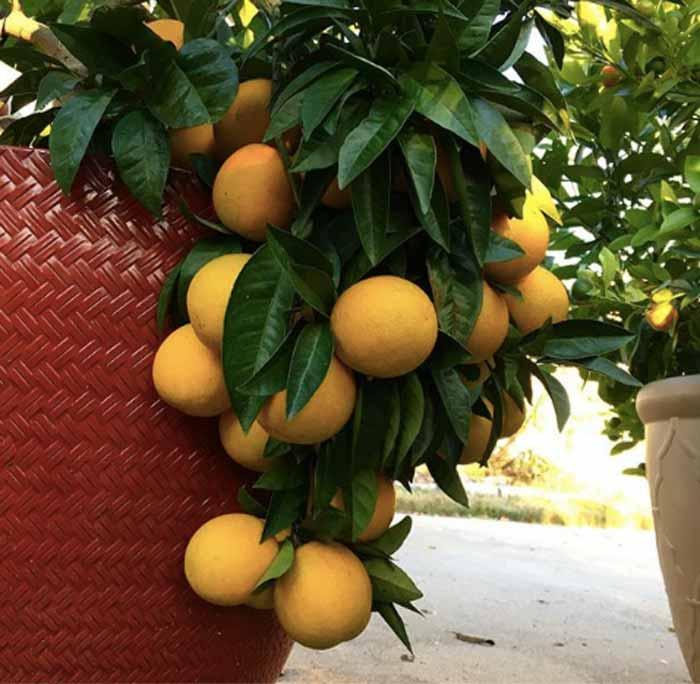 在暴君农场的花盆里成熟血橙。血橙树更加大
