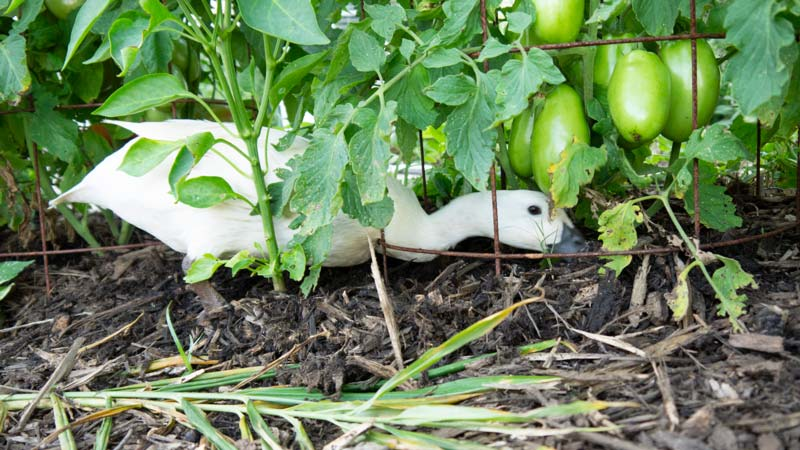 Lady Margaret Thrasher doing her part of the pest control duties underneath a determinate sauce tomato plant.
