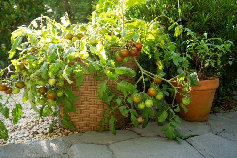 Happy tumbling tomatoes living in a container.