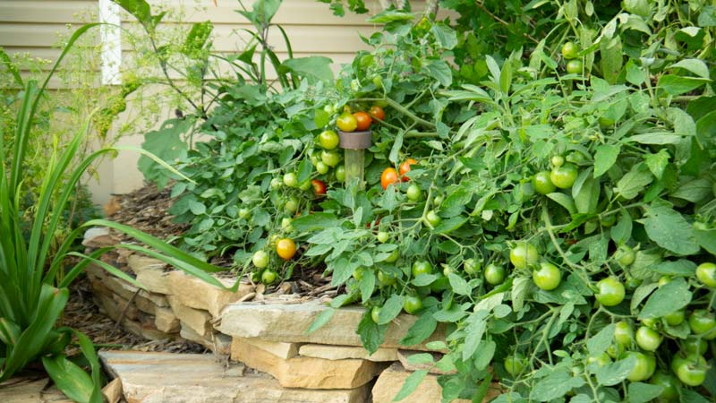 Tumbling tomatoes, eggplant, cilantro, and lilies all share a home.