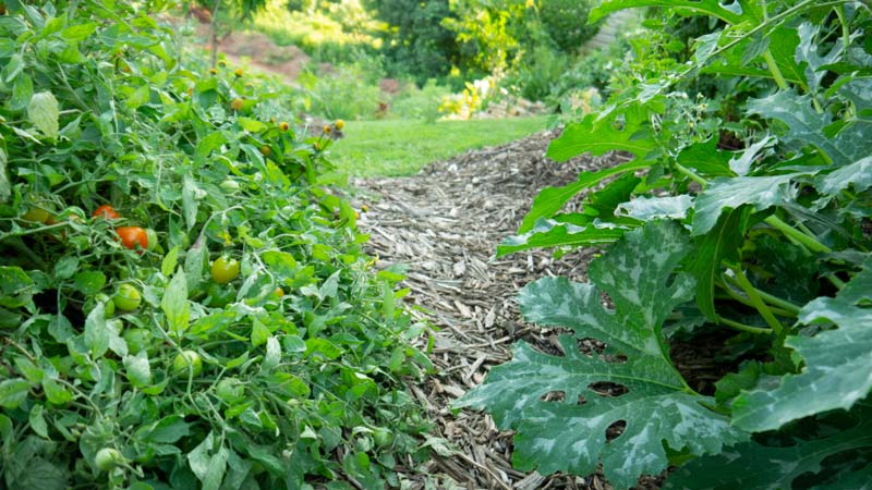 A dwarf tomato plant & squash tumble along a garden path in our yard.