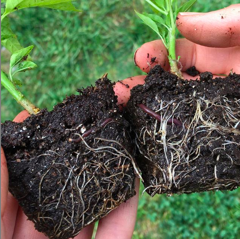 See the worms in these seedling transplants? As you might be able to tell from this photo, worms help aerate the soil, disperse nutrients, and increase the quantity and distribution of beneficial soil microbes. Worm castings make one seriously amazing soil amendment.