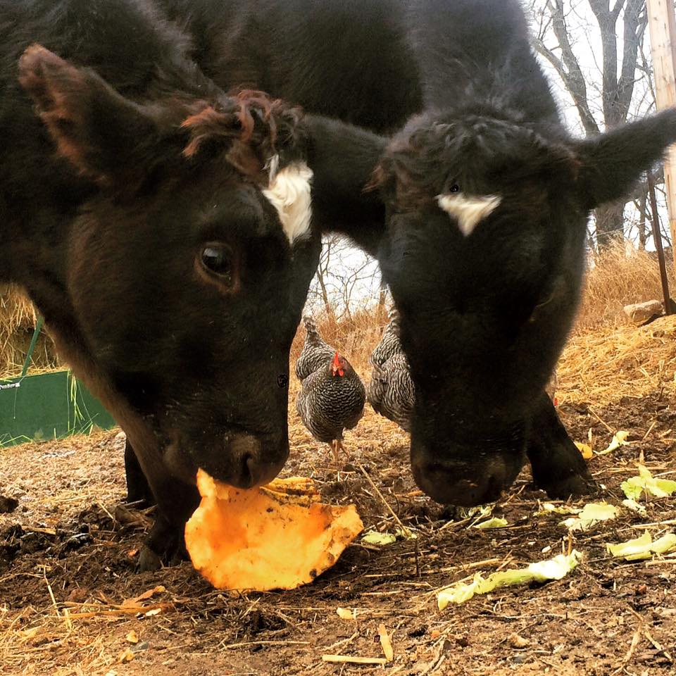Cattle eating a pumpkin, Photo via Bakers Acres on Facebook