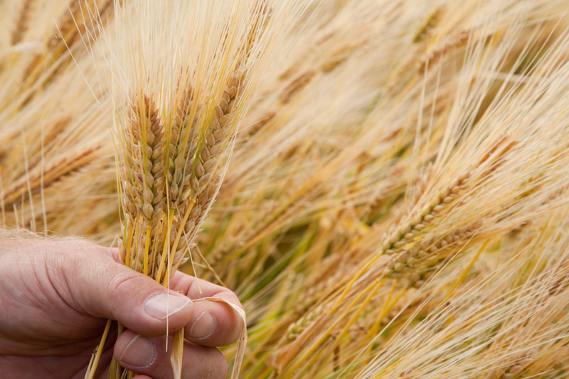 """Quest"" barley, released in 2010 by the University of Minnesota, Minnesota Agricultural Experiment Station, was the first U of M barley with improved resistance to Fusarium head blight // Photo by David Hansen, University of Minnesota"