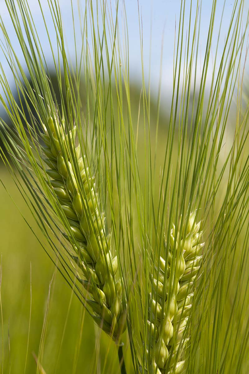 "'Quest' barley variety developed by and released by the University of Minnesota, Agricultural Experiment Station in 2010. A significant attribute of 'Quest' is improved Fusarium head blight resistance. Research project #13-030, ""Barley Breeding and Genetics."" Principal investigator: Kevin Paul Smith."