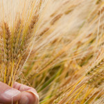 Climate Change: The Good, The Bad, and The Barley