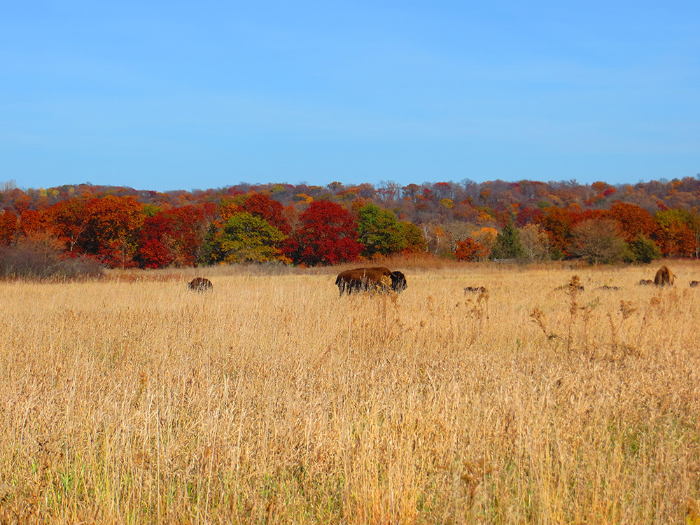 Bison_autumn