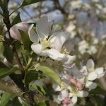 Apple blossoms mean Minnesota's cider season is here