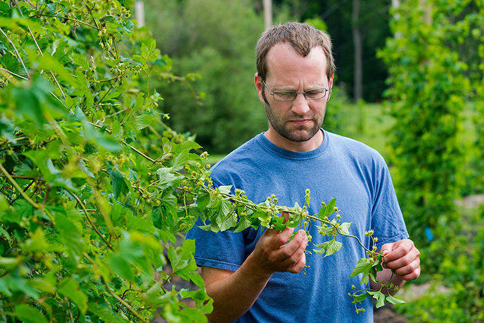 Charlie-Rohwer-examines-hop-bine-__-Photo-courtesy-of-University-of-Minnesota