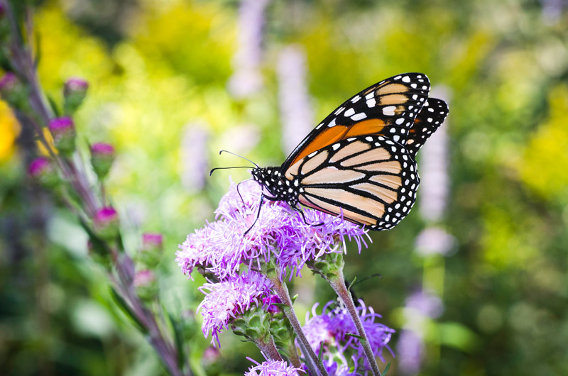 Minnesota's state butterfly, the monarch // Photo courtesy of Minnesota Department of Natural Resources