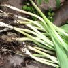 Rooting for ramps: What foragers must do to conserve these coveted wild onions