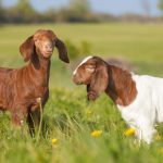 Rent-A-Goat: Can we use ruminants to stop invasive plants and restore the natural landscape?