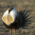 Greater sage-grouse // Photo courtesy of U.S. Fish & Wildlife Service