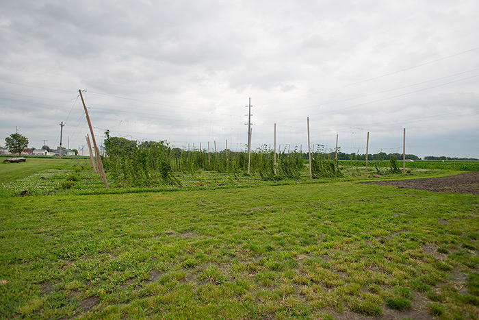 Hop-farm-early-in-the-2012-season-__-Photos-courtesy-of-University-of-Minnesota