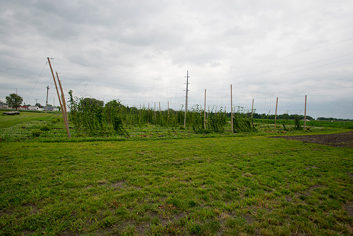 Hop-farm-early-in-the-season-__-Photo-courtesy-of-University-of-Minnesota
