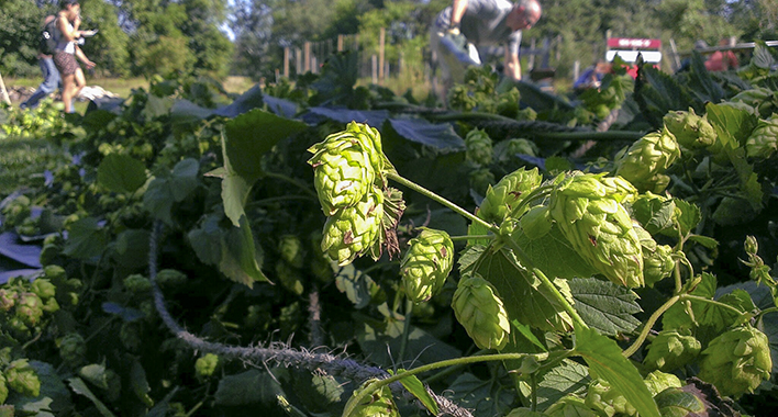 Hop picking at Might Axe Hops // Photo by Joseph Alton