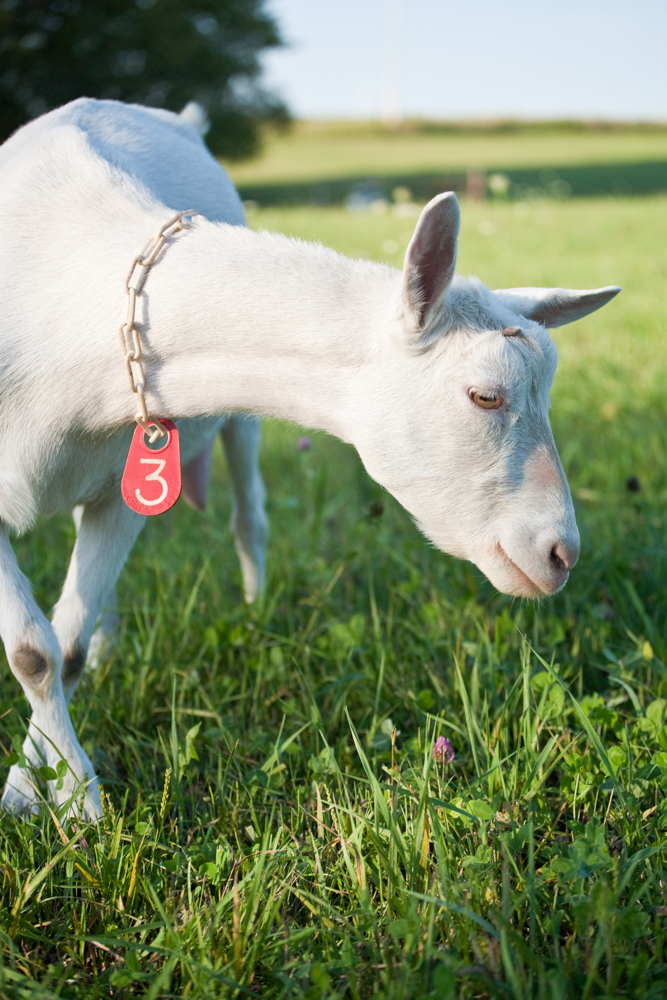 Lovely Saanen dairy goat doe in in lush green pasture.
