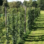 Mighty Axe Hops expansion more than doubles Minnesota's hop acreage