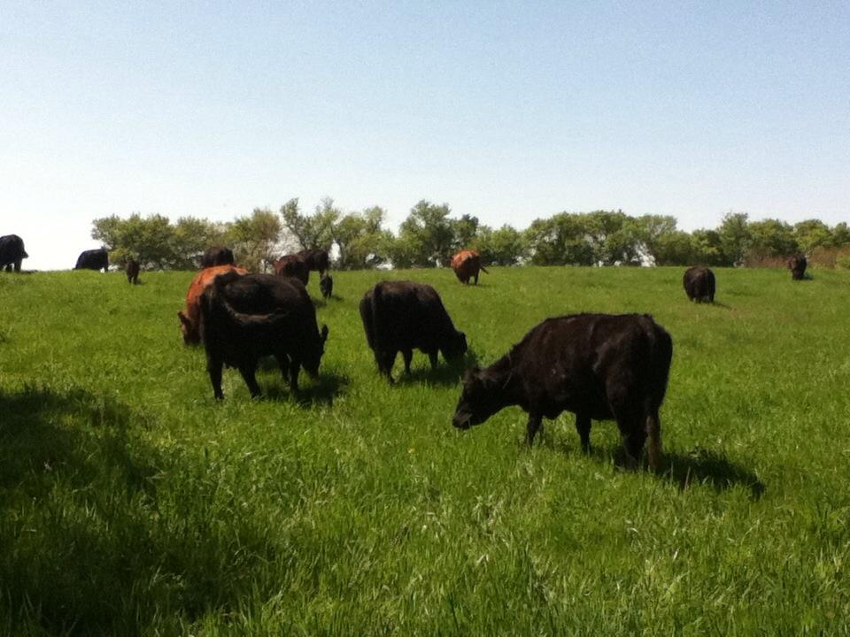 Cattle Grazing at Moonstone Farms, Photo via Facebook