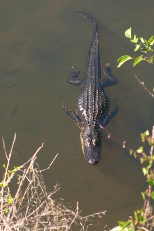 Alligator Swimming in Shark Valley // Photo courtesy of NPS