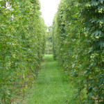 Wisconsin's Northern Discovery and the importance of wild hops