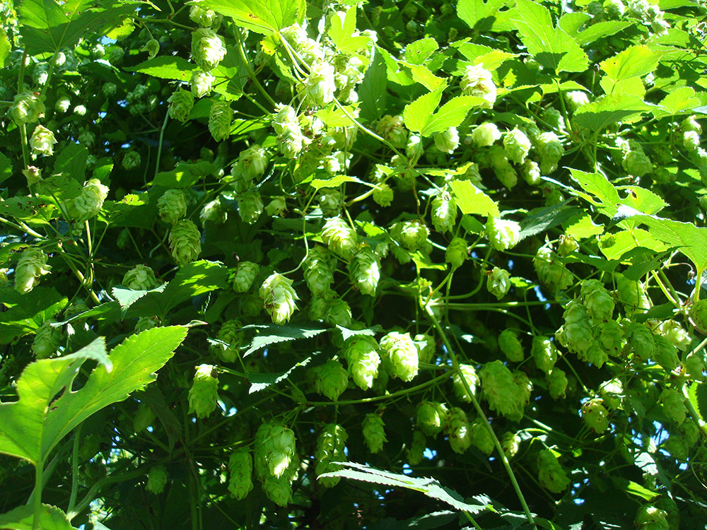 Northern Discovery Hops067(1)
