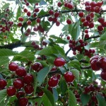 Got cherries? Urban Forage Winery wants 'em.