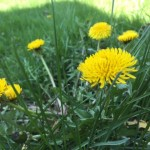 Got dandelions? Urban Forage Winery wants them.