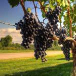 Lawsuit challenges locally grown mandate in Minnesota wine