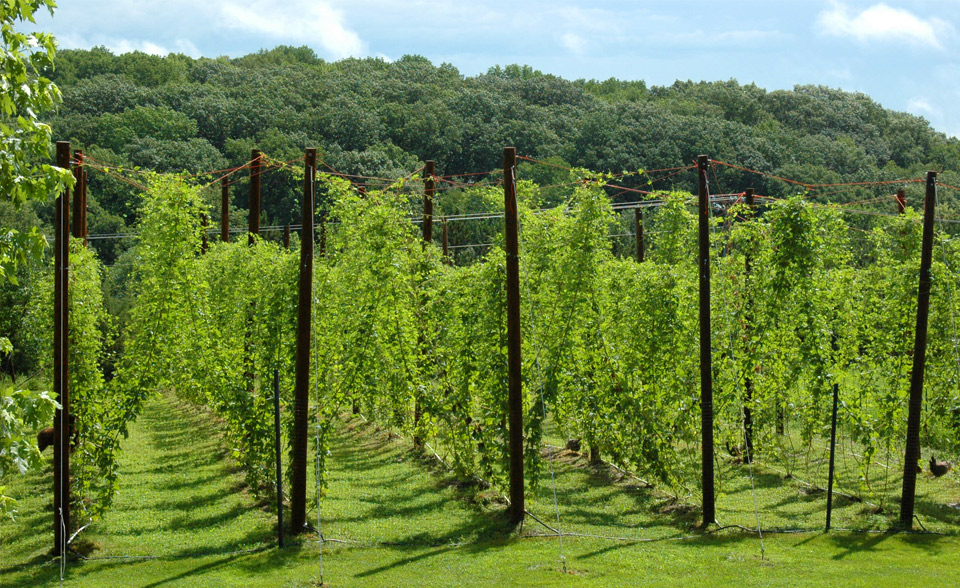 Hopyard at Hippity Hops Farm // Photo courtesy The Top Hop