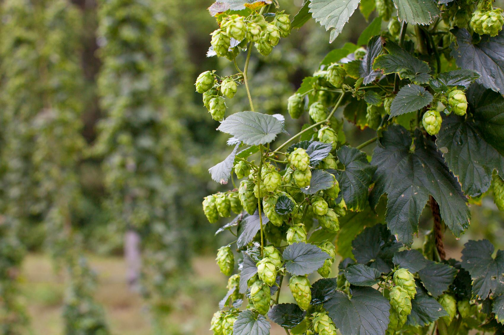 Brewers Association and the USDA are embarking on a public hops breeding program that aims to develop disease-resistant strains of hops to benefit hop growers in the U.S. // Photo via Mighty Axe Hops' Facebook page