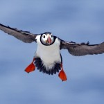 The mystery of the puffin has finally been solved