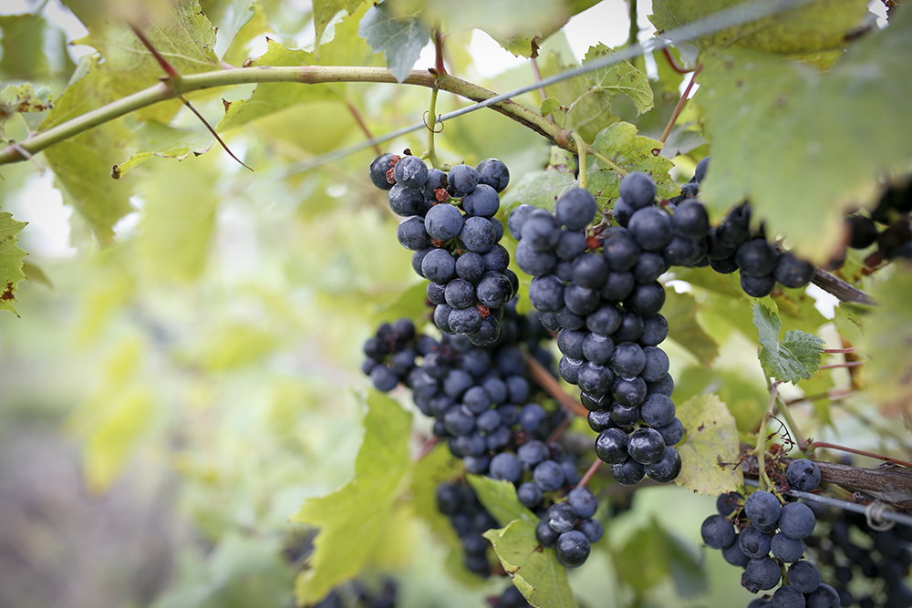 Cold hardy grapes on the vine at Schram Vineyard // Photo by Aaron Davidson