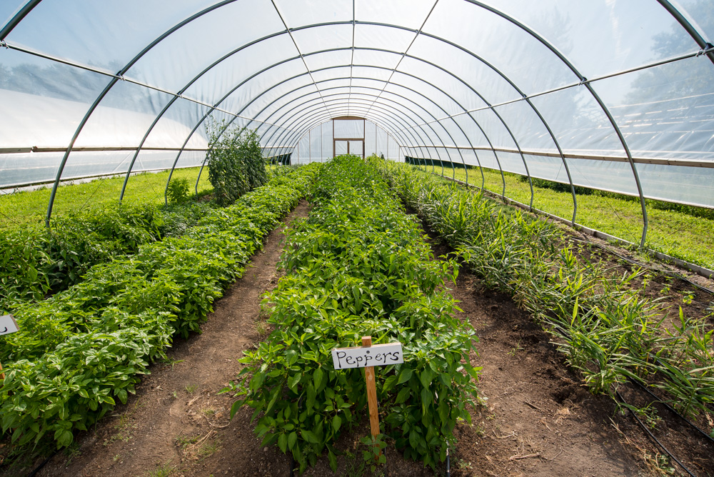 Peppers growing in the hoop house outside The Good Acre // Photo by Kevin Kramer, The Growler