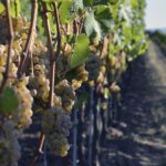Riesling grapes, day before harvest, Anne Amie Vineyards // Photo by Jon Oropeza, Flickr