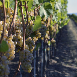 White Wine 101: It's all in the grapes