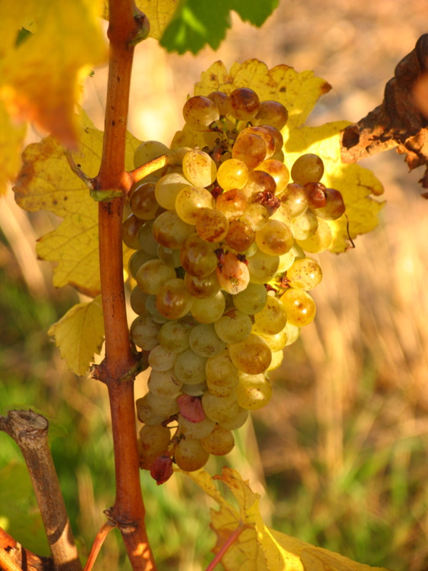 Chenin blanc grapes // Photo by Jim Budd, Flickr