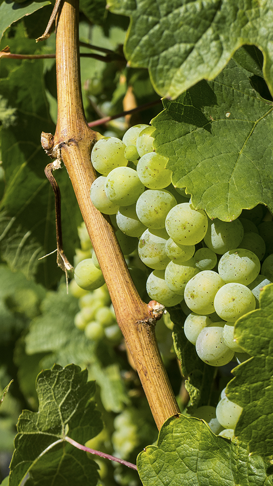 Riesling grapes // Photo by Gavin White, Flickr