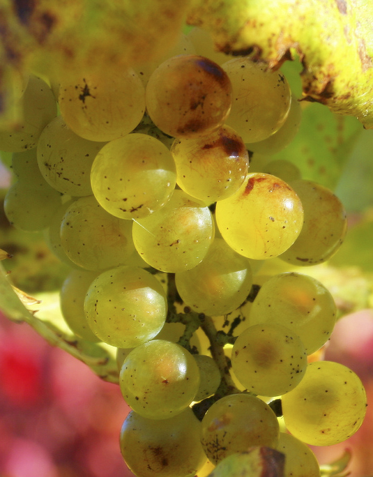 Chardonnay grapes // Photo by John Morgan, Flickr