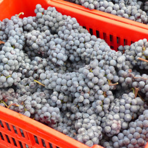 "A small basket or ""cassette"" of Nebbiolo grapes // Photo Anthony Nicalo, Flickr"