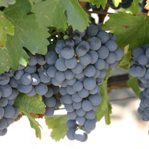 Malbec grapes at the Robert Mondavi Winery in Rutherford, California (in the Napa Valley) // Photo courtesy IanL, Flickr