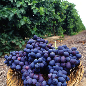 A basket of Zinfandel Grapes // Photo courtesy USDA