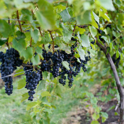 Red Wine 101: The 9 grapes you need to know