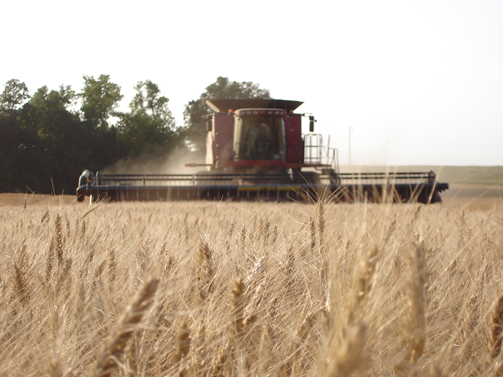 A Combine harvesting Wheat in a Vertical Malt field // Photo courtesy of Vertical Malt