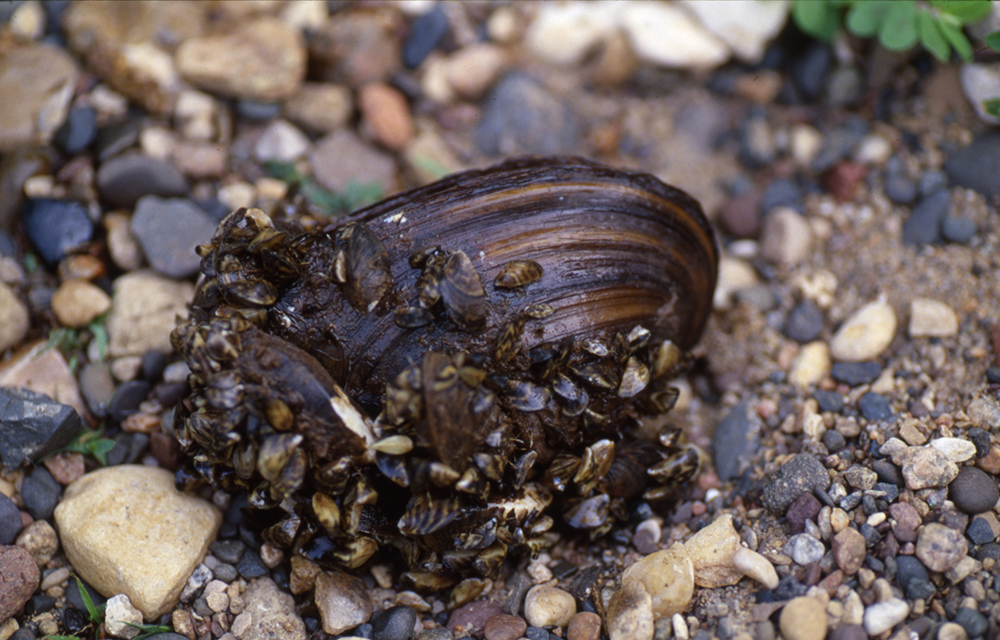 A native mussel covered with invasive zebra mussels // Photo courtesy of the Minnesota Department of Natural Resources