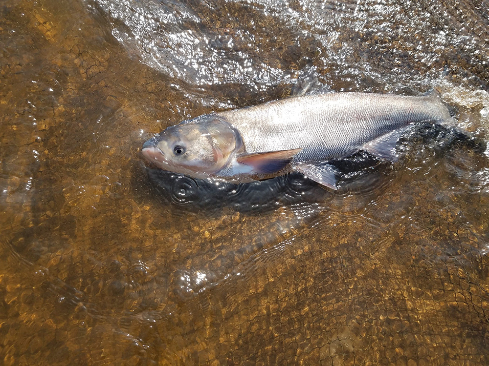 A Silver Carp, known by many as an Asian Carp // Photo courtesy of the Minnesota Department of Natural Resources